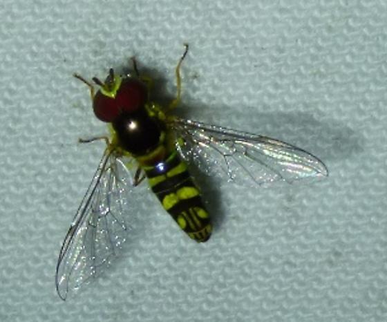unknown insect - Allograpta obliqua