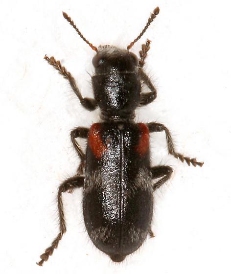 Checkered Beetle - Enoclerus schaefferi