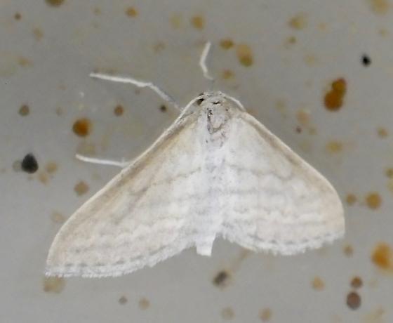 Moth B 9.21.17 - Lobocleta plemyraria