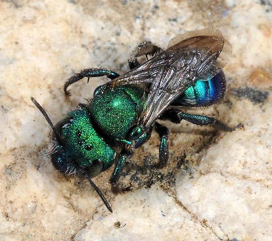 Osmia aglaia - female