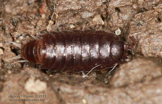 Isopoda - Trichoniscus pusillus