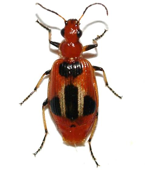 Lebia sp. - Lebia histrionica