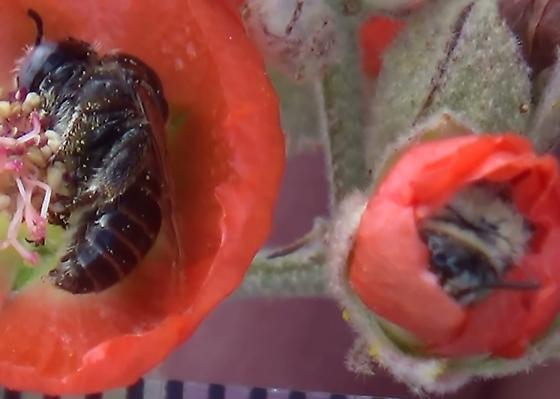 Two Chimney Bees - Globe Mallow Bee & Friend - Diadasia diminuta - male