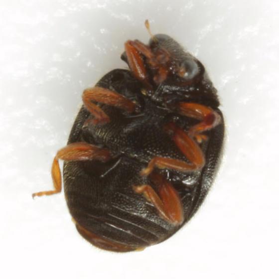 Scymnus (Pullus) tenebrosus Mulsant - Scymnus tenebrosus