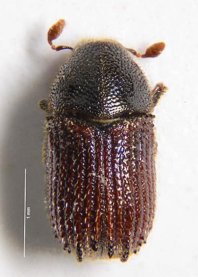 Typical Bark Beetle of sorts... - Phloeosinus dentatus