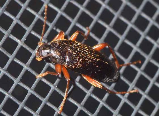 ? - Lobopoda erythrocnemis