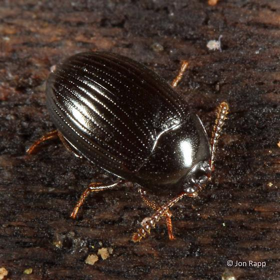 Darkling Beetle - Platydema excavatum - male