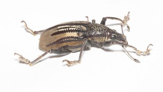 Large  Broad-Nosed Weevil - Diaprepes abbreviatus