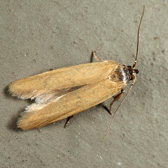 Holcocera immaculella