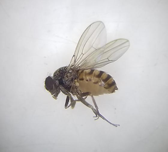 Small Flies In Home Around Kitchen And Guinea Pig Cage San Joaquin County Ca Drosophila Repleta Bugguide Net