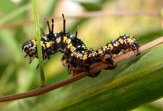 Cydosia Nobilitella - Caterpillar - Cydosia nobilitella