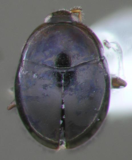 Tiny Beetle - Orthoperus