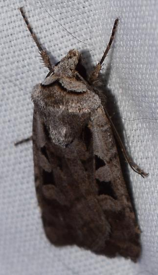 Moth with black spots