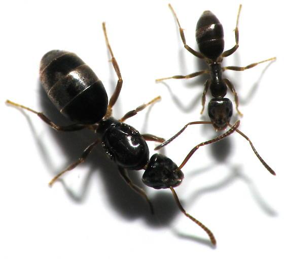 Queen Ant Actual Size Queen Size Comp...