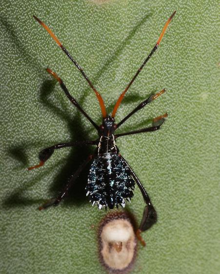 Acanthocephala nymph - Acanthocephala