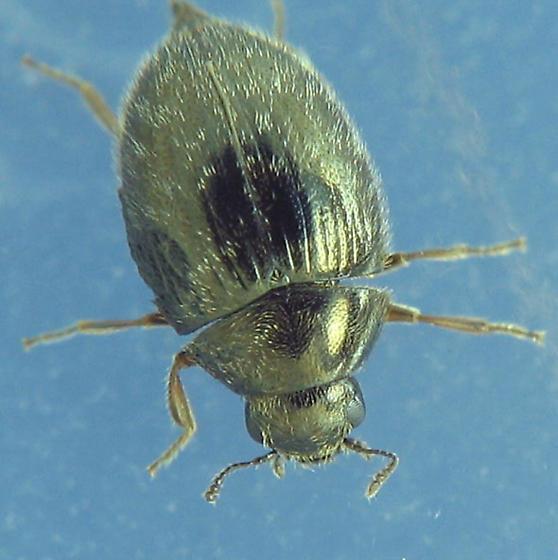 Pill Beetle - Simplocaria semistriata