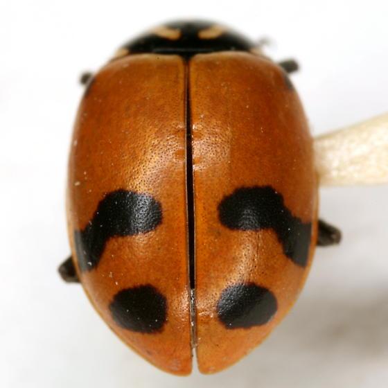 Hippodamia glacialis glacialis (Fabricius) - Hippodamia glacialis