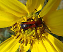 red and black beetle - Batyle suturalis