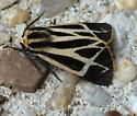 Tiger Moth - Apantesis carlotta, Apantesis phalerata, or something else? - Apantesis