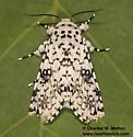 Lichnoptera decora