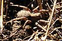Wolf spider - Alopecosa kochi