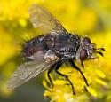 fly on flower (Solidago) - Peleteria