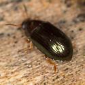 Beetle - Neomida bicornis