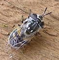 Syrphid - Copestylum - female