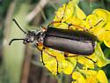 Blister Beetle - Lytta aenea