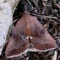 Maroon day-flying moth - Galgula partita - female