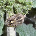 Fuzzy stink bug or shield bug - Agonoscelis puberula