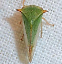 Ceresa taurina - Stictocephala taurina