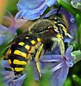 Anthidium manicatum - Wool Carder Bee seen again in Sunnyvale, CA - Anthidium manicatum