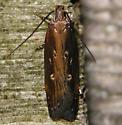 eyeringed chionodes moth - Chionodes discoocellella