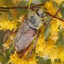 Ericameria Cerambycid - Crossidius hirtipes