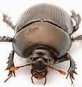 Geotrupes, but which one? - Geotrupes blackburnii