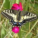 anise swallowtail - Papilio zelicaon