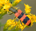 hairy soft-shelled beetle - Trichodes simulator