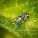 Dolichopodidae- Longlegged flies - Condylostylus