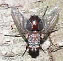 Huge Fly - Billaea rutilans