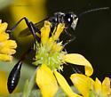 Thread-waist - Eremnophila aureonotata