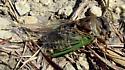 Cicada in prairie - Tibicen auriferus? - Neotibicen auriferus