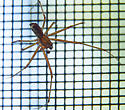 Pachygnatha? - Linyphia triangularis