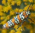 orange white black - milkweed - Atteva aurea