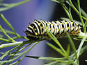 Caterpillar eating a dill plant. - Papilio polyxenes