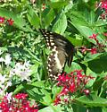 Eastern Tiger Swallowtail - Papilio palamedes - female