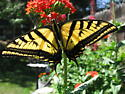 Two-tailed Swallowtail - Papilio multicaudata - female