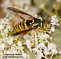 Spilomyia liturata? - Spilomyia liturata - female