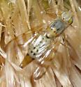 Terellia sp. - Terellia occidentalis - female