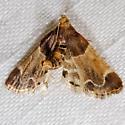 Pyralis farinalis - Meal Moth - Pyralis farinalis